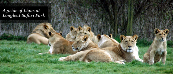 Places of Interest - Lions at Longleat Safari Park